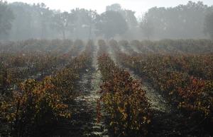 Vignes à l'automne